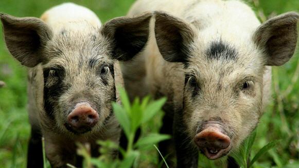 Крупные породы свиней, подробное описание с фото