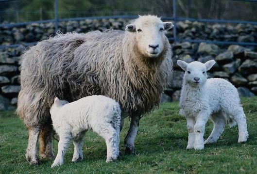 Что нужно знать о разведении овец