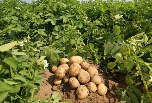 Варащивание картофеля на огороде, удобрения, полив, окучивание