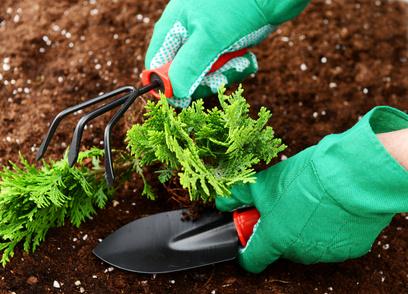 Особенности выращивания и ухода за туей