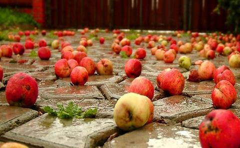 Причины раннего опадания яблок