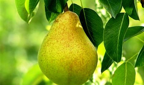 Как вырастить грушу в саду