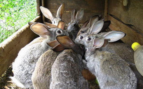 Своеты о том, как правильно разводить кроликов