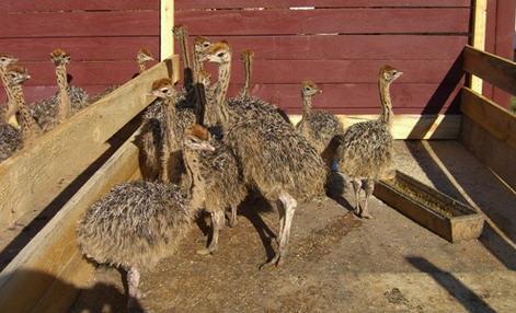 Разведение страусов и их особенности