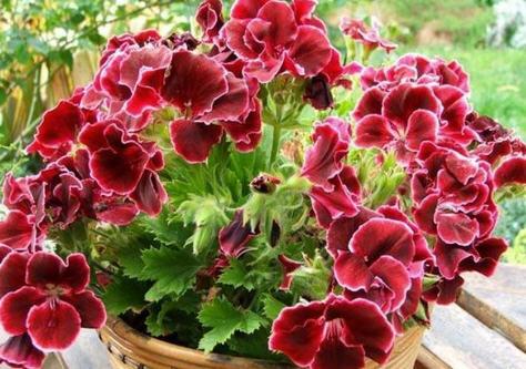 Пеларгония - очень красивый и всегда цветущий