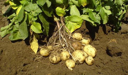 Необычные особенности картофеля