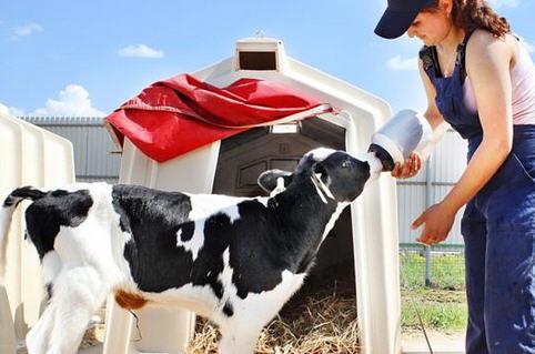 Молочные и мясные породы коров, особенности кормления телят