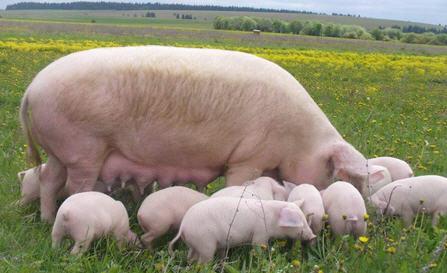 Содержание свиноматки
