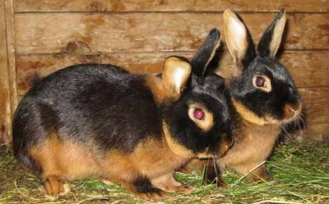 Пуховые кролики, как чесать