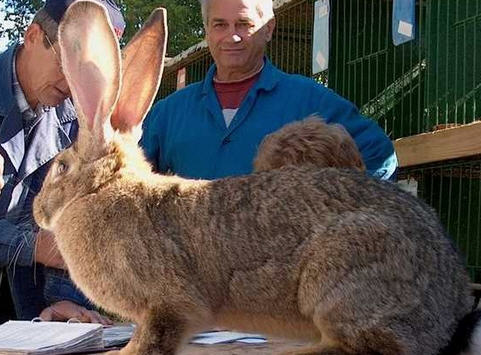 Отбор и подбор кроликов на племя