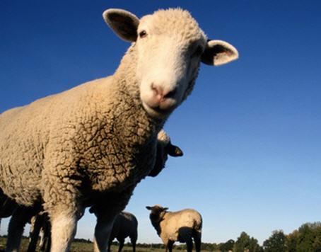 Прибыль из овечьего навоза