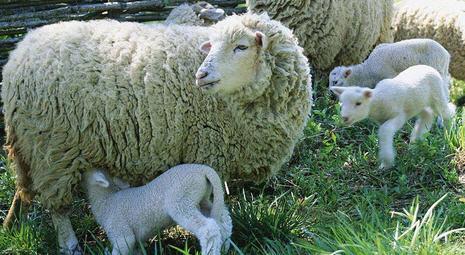 Овцеводство – отрасль энтузиастов