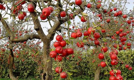 Яблоня осенью