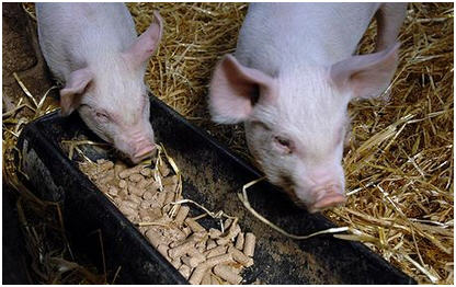 Свиньи на откорме, чем кормить свиней
