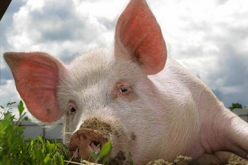 Мероприятия по профилактике в свиноводстве