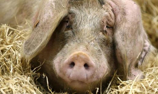 Инфекционные болезни свиней