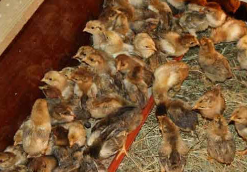 Выращивание цыплят, сложности