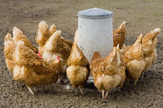 Правильное кормление птицы