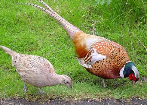 Размножение птицы, выращивание молодняка