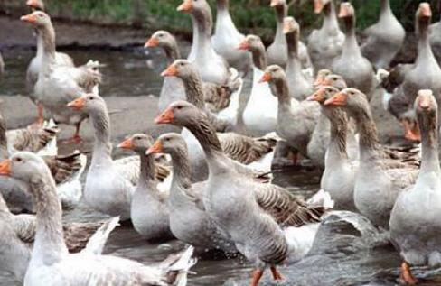 Про птицеводство