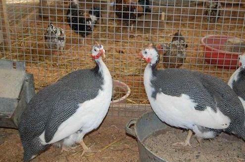 Убой, хранение и обработка домашней птицы