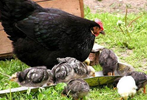 Отбор племенной птицы