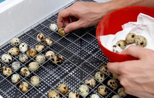 Как отбирать яйца на инкубацию