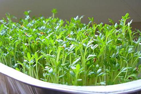 Как самостоятельно вырастить зелень