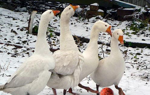 Кормление гусей зимой