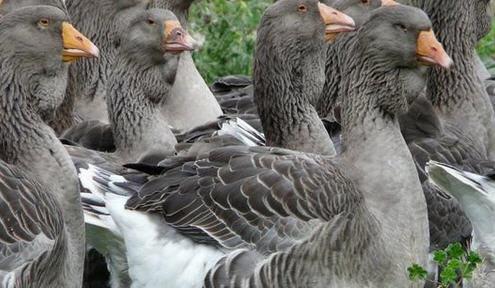 Чем кормить гусей летом