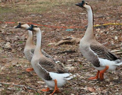 Породы гусей, описания