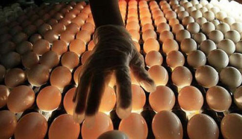 Инкубация гусиных яиц, таблица