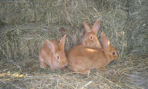 Бургундский кролик