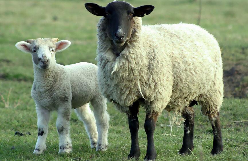 Разведение домашних овец