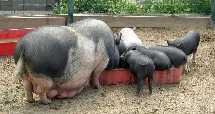 поросята вьетнамской свиньи едят пищу