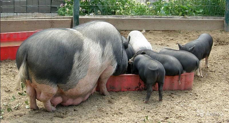 Вьетнамские свиньи: кормление, содержание