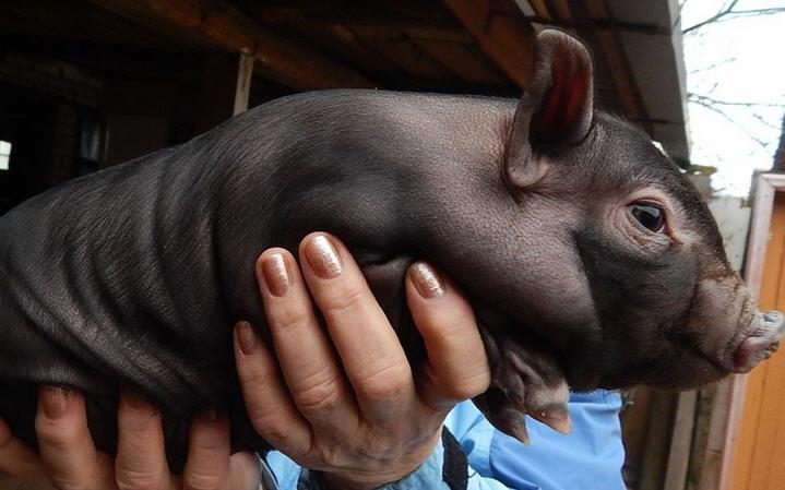 поросята вьетнамской свиньи