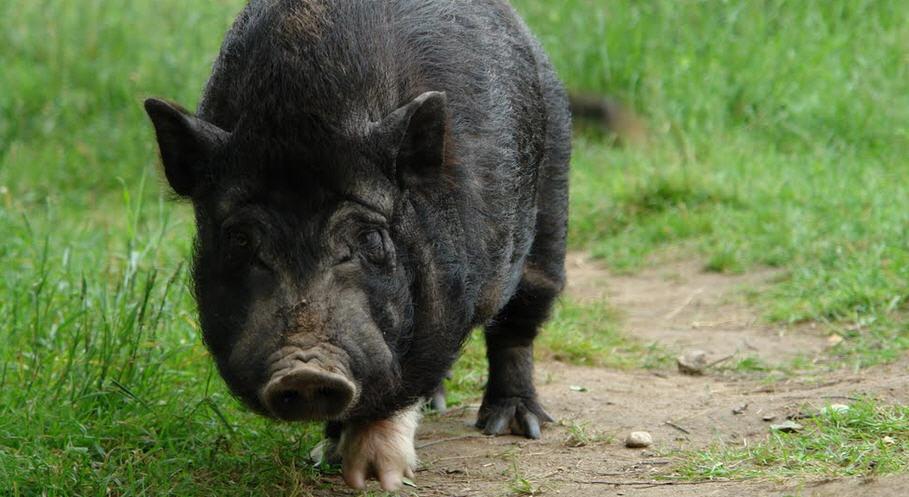 Один из способов выращивания вьетнамской вислобрюхой свиньи