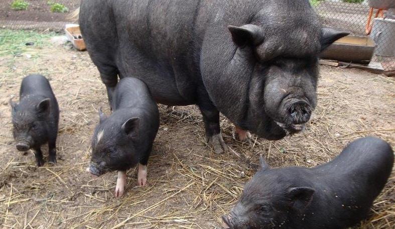 Как ухаживать за свиноматкой вьетнамских поросят