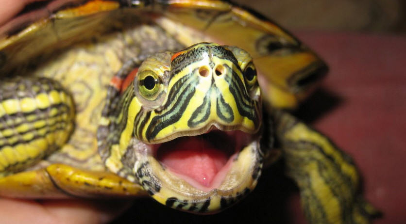 Красноухие черепахи: анатомия и содержание