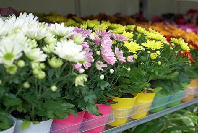 Хризантемы уход и пересадка в домашних условиях фото