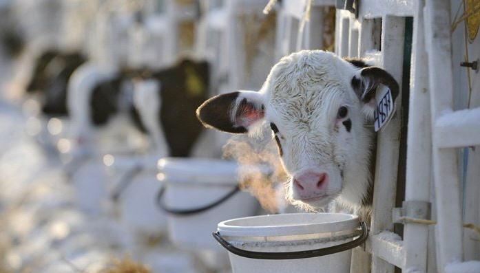 Кормление быков производителей