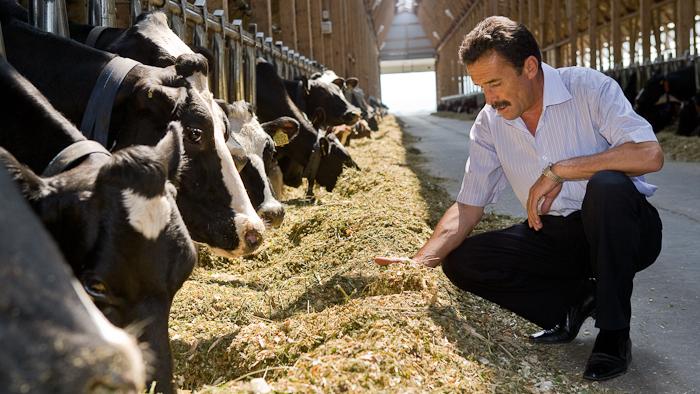 Дойная корова, кормление и содержание