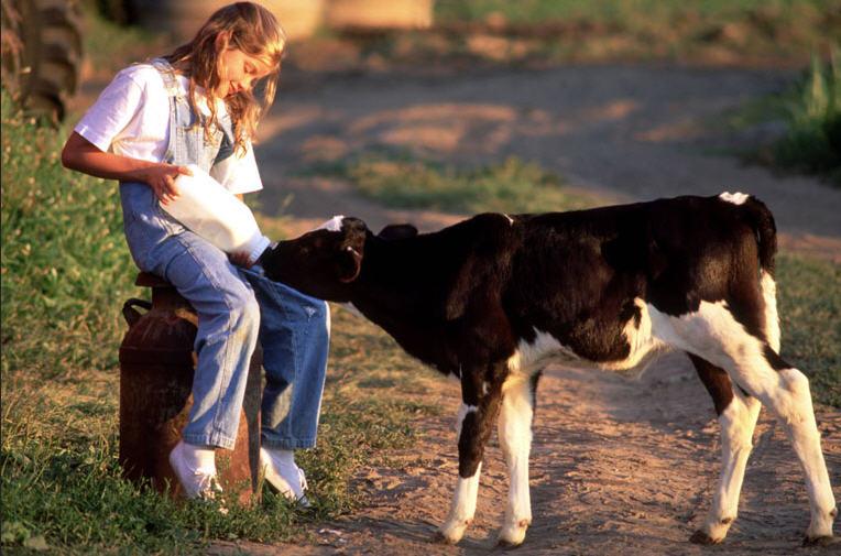 Выращивание телят в домашних условиях: на мясо, в молочный 23