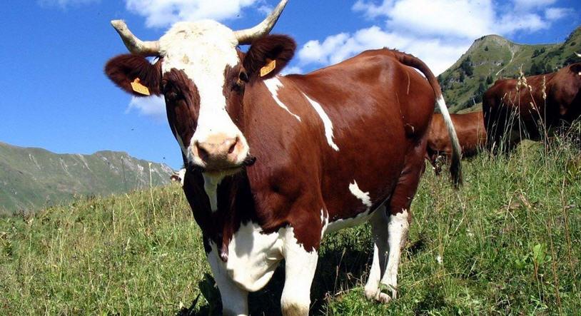 Как влияет кормление коров на молочную продуктивность
