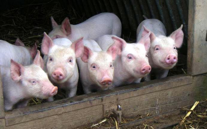 Правильный откорм свиней