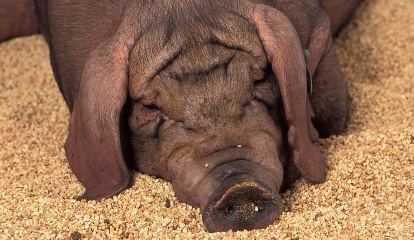 Что влияет на откорм свиней