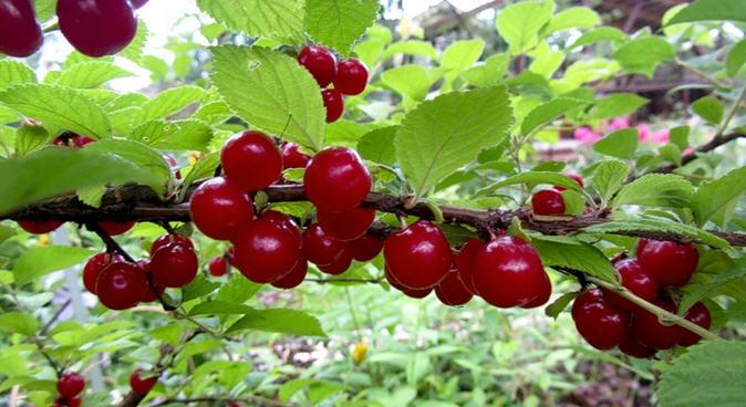 Войлочная вишня, описание