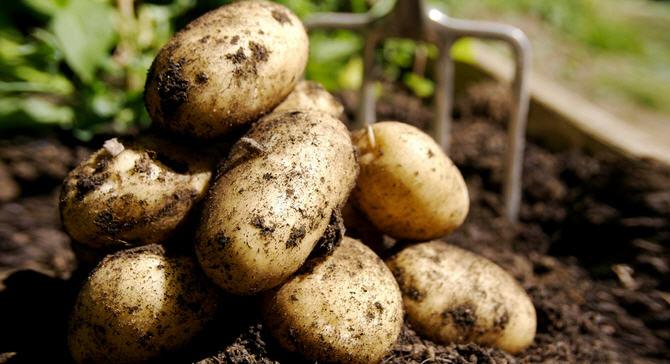 Популярные сорта картофеля: Радомышльский, Луговской, Гатчинский