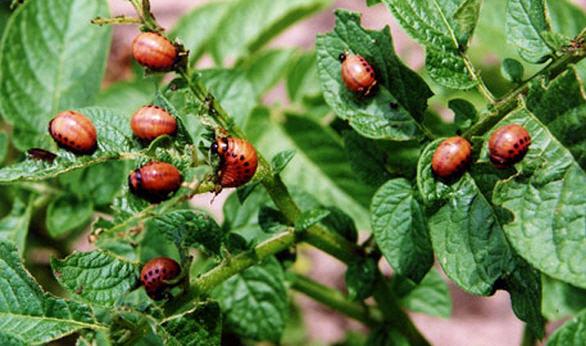 Чем защититься от колорадского жука